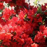 花水木、桜のあとを引き継いで、日本の春を彩ります。