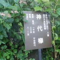 神代ケヤキ(御岳山)