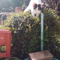 くーさん、植木の上に登る