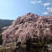 17年4/25~興禅寺~時雨桜~⑤