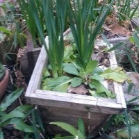 庭のミモザでリースを作りました