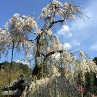 枝垂れ桜 in 奈良宇陀大野寺
