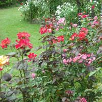 冷え込みで 色鮮やかに バラの花