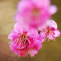 紅梅 (花 4239)