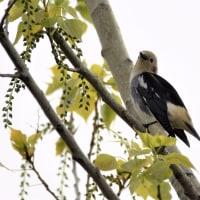 5/18夏鳥到来の渡良瀬遊水地。「コムクドリ雄」
