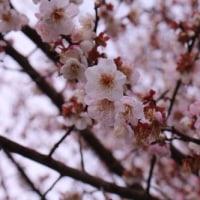 桜、咲いてました  プチ旅より