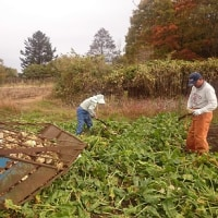 ビートの収穫開始
