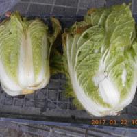 今日の収穫 カブ 変なダイコン ハクサイ