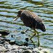 『花水の野鳥』 ホシゴイ