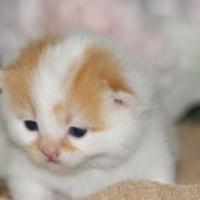 丸顔猫種スコティッシュフォールド販売/ペットショップ子猫/宮城県/栗原市/登米市