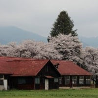 長野県佐久市にある茨城牧場長野支場では、ソメイヨシノなどがよく咲き始めています