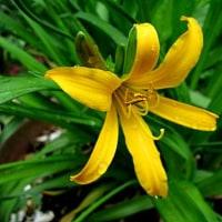 武蔵野黄菅(むさしのきすげ)という花