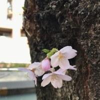 桜咲く4月ですね。