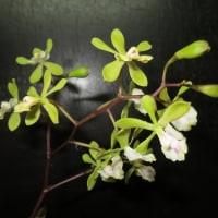 Epi.floribundum'Miyao'