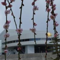 枝垂れ梅3/18