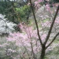 多摩自然科学園の桜5