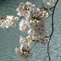 桜日記17 ㉕