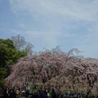 「枝垂桜」/新宿御苑(2017春)