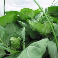 レタス・キャベツに追肥 4月には収穫できそう。