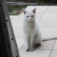 ノラの白猫さんが遊びにやってきた