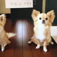 ロングコートチワワ ベルちゃん(メモリアル)