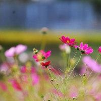 コスモス畑・・・☆