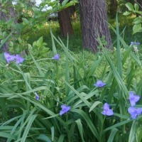 つゆ草が咲いている