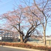 調布飛行場の一番桜です。すみあい