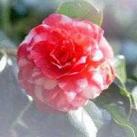 椿 (花 4310)