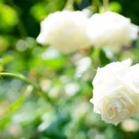 バラ、キンシバイ、ムラサキツユクサ、トキワツユクサ(赤塚植物園)