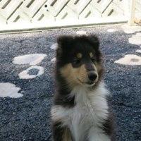 コリーの子犬セーブちゃん