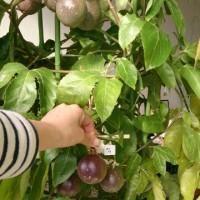 実生パッションフルーツの初収穫