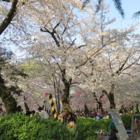 鶴舞公園の桜!