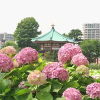 上野公園のアジサイの花(2017・6)