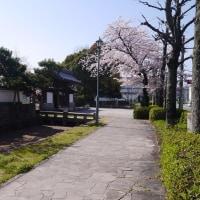 膳所公園の桜