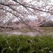賀茂川のさくら