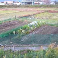 不耕起栽培のキャベツ終了