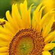 向日葵と蜜蜂