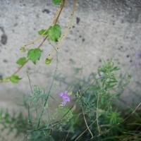 路傍の植物-1 小布施町