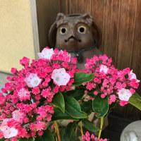 可憐な花カルミヤ