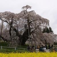 日本三大桜三春の滝桜