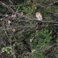 今日の野鳥  フクロウ・ジョウビタキ雌