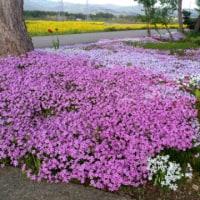 菜の花畑と芝桜