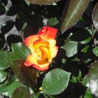 三番目の開花 バラのチャールストン