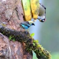 Golden hooder tanager