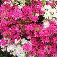 ピンクと白の花を咲かせるサツキ🌸