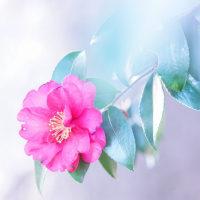 山茶花 (花 4191)
