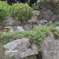 「苔桃に実がなりました」 MY GARDEN 2016.07.17撮影