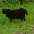 草原を歩く野生動物・・・のようなネコ。