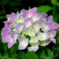 梅雨の香りと紫陽花